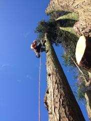 Dismantling a multi stemmed conifer