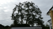 Silver birch reduction