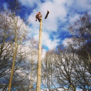 Dismantling a pine tree in Farnham, Hampshire