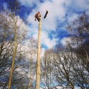 Dismantling a pine tree in Farnham, Hampshire