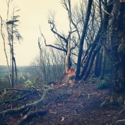 Clearing windblown sweet chestnut in Hampshire