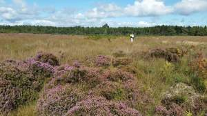 Working on a Forestry Commission contract to help with heathland restoration in Dorset