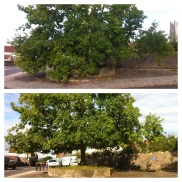 Oak tree crown lift for Wraxall parish council - before and after