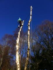 Silver birch dismantle in Broadstone, Dorset