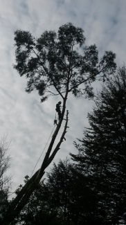 Eucalyptus dismantle in Lytchett, Dorset