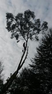 Eucalyptus dismantle in Lytchett, Dorset