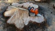 Tree stump ready for stump grinding