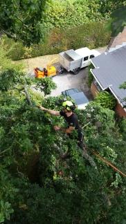 Dead wood removal on a big oak tree in Wimborne