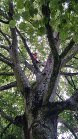 Crown cleaning a Lime tree - Council work in Poole