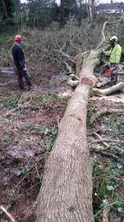 Cross cutting and snedding felled trees