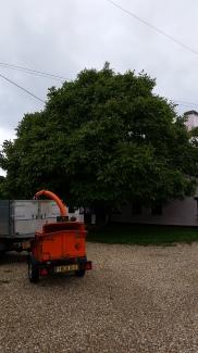 Walnut tree before pruning