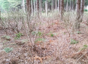 Success from the previous years efforts to eradicate rhododendron