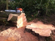 Large macrocarpa fell