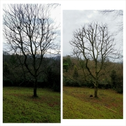 Walnut tree pruning in North Somerset - before and after