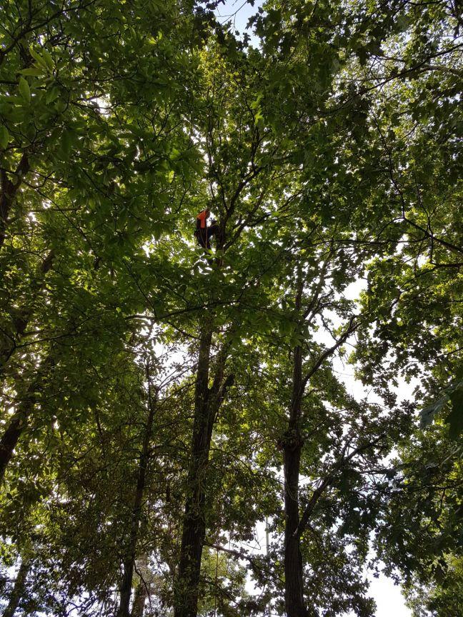 Arborist Peter Hart tree climbing