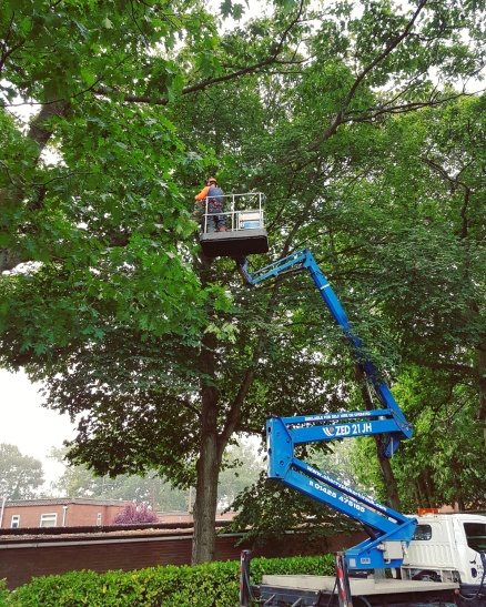 MEWP assisted tree surgery