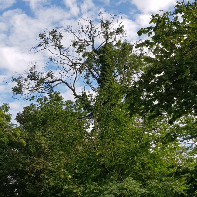Ash tree showing clear signs of die back